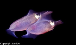 Squid twins by Bill Van Eyk